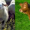 Ternasco de Aragón y Ternera Gallega. Carnes con estilo