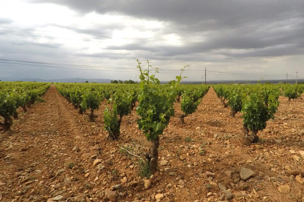 Aragón, en el origen de la garnacha