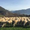 El importante papel del pastoreo para el medio ambiente